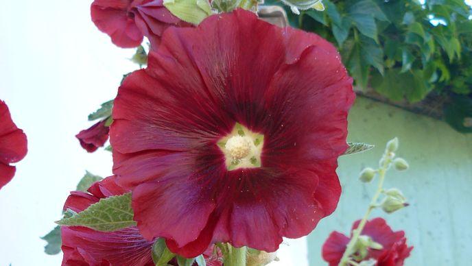 Roses trémières sur l'Ile de Ré