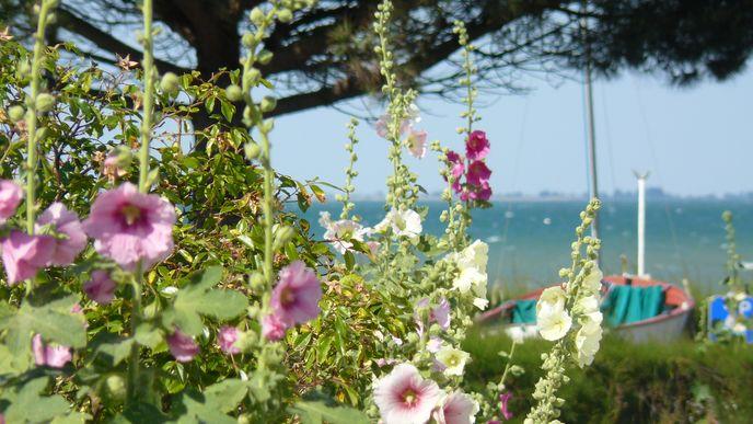 Roses trémières à La Flotte